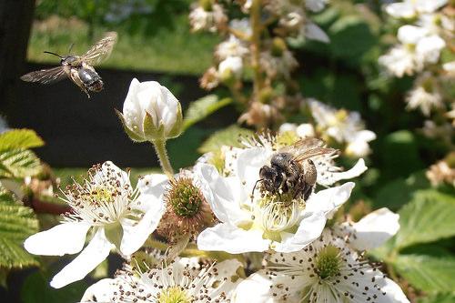 na kvete černice1